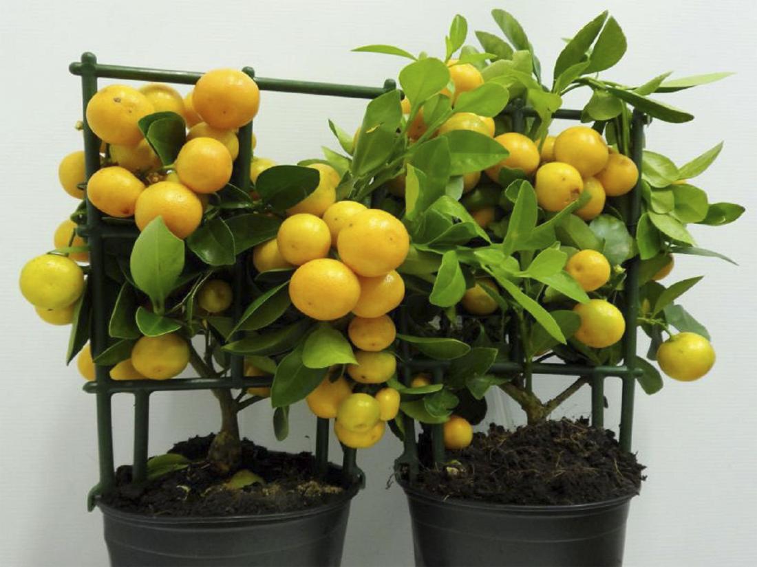 Домашний мандарин уход и размножение