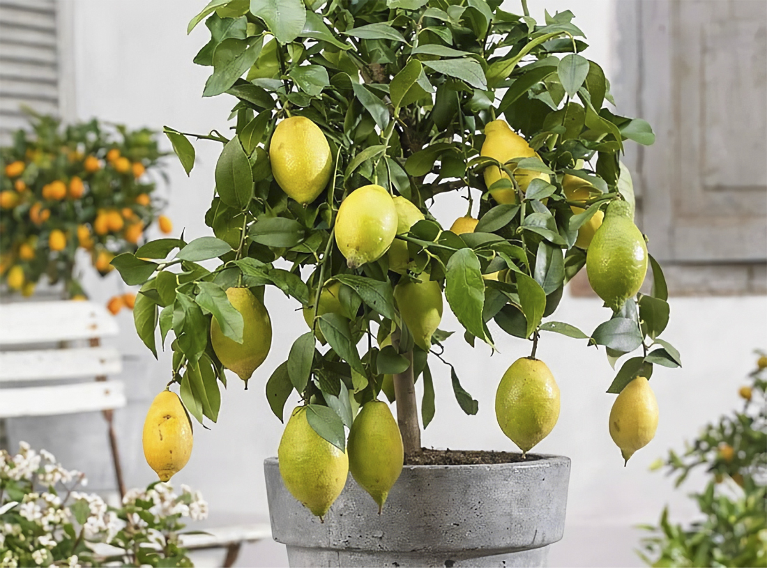 Пересадка лимонного дерева
