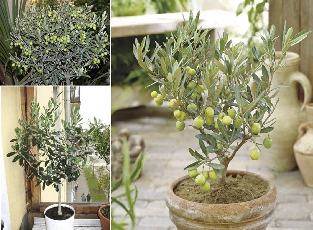 Как пересаживать оливковое дерево