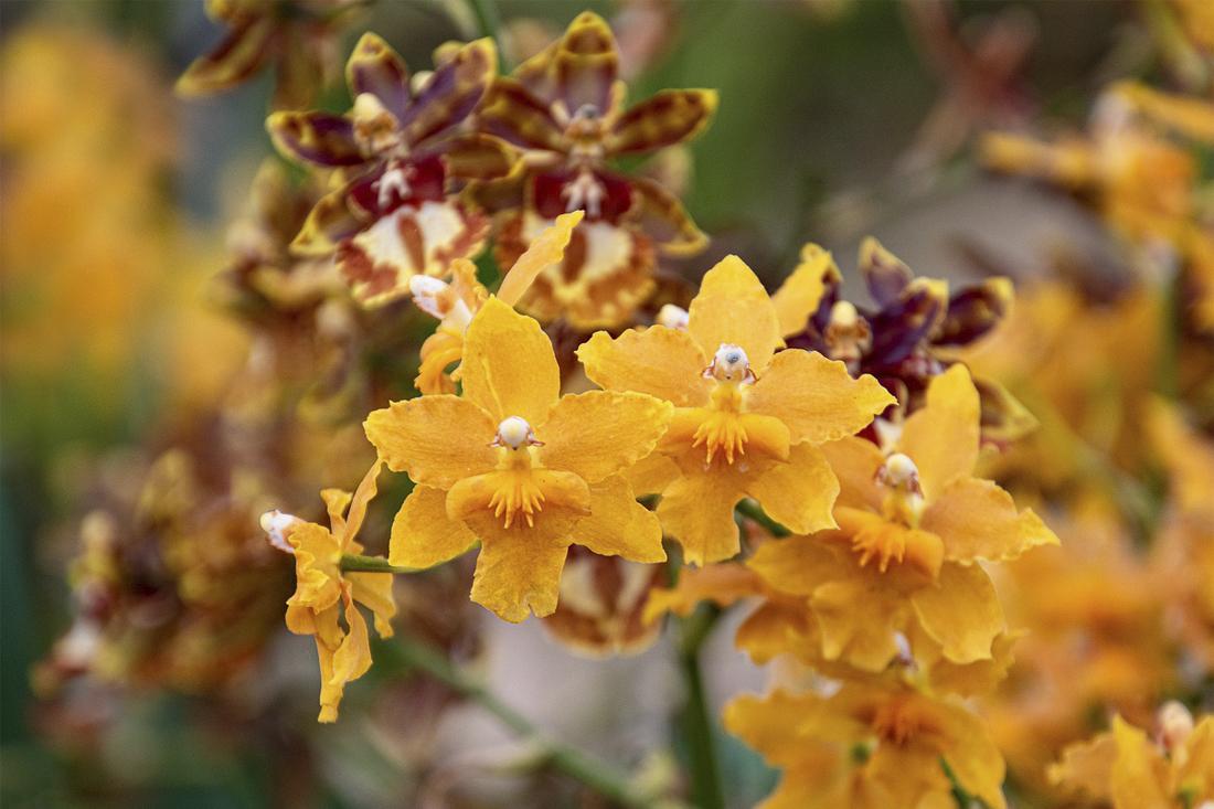 Посадка и уход Орхидеи Онцидиум