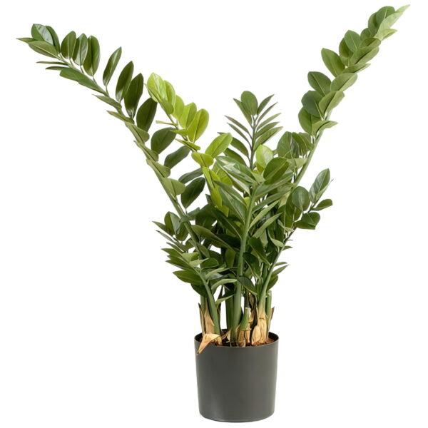 Искусственное растение Замиокулькас, высота 90 см